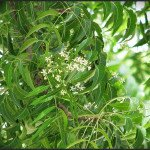 Top 10 Health Benefits of Neem