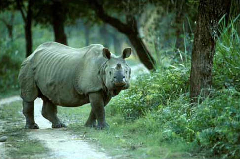 Kaziranga-National-Park-in-Assam_One-horned-rhino