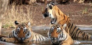Wildlife-in-Sariska-National-Park
