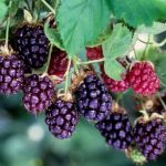 Boysenberries Nutrition Facts & Calories Information