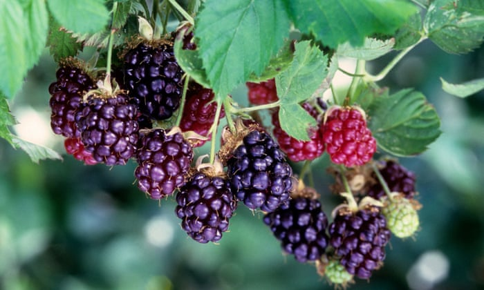 Boysenberries Nutrition Facts & Calories