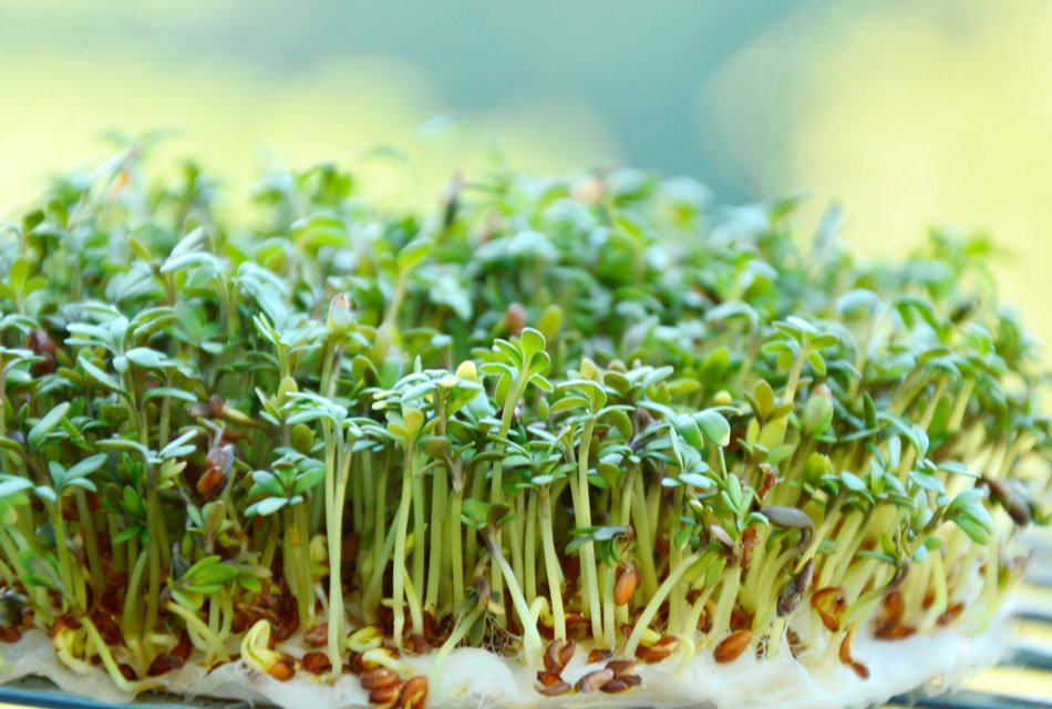 Garden Cress Nutrition Facts and Calories Information