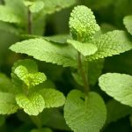 Spearmint Nutrition Facts and Calorie Information