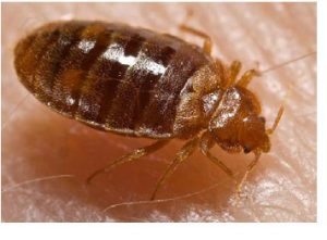 PICTURS OF BEDBUGS
