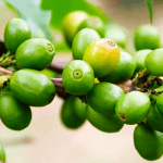 Top 8 Science-Based Health Benefits Of Green Coffee Bean