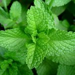The Amazing Health Benefits of Peppermint