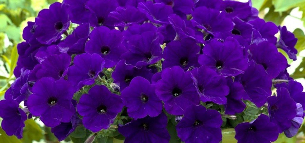 Blue Verbena