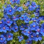 9 Most Beautiful Blue Flowers |  House and Garden