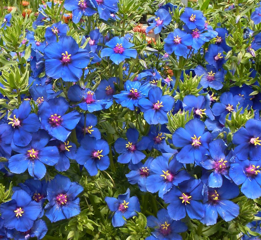 Most Beautiful Blue Flowers